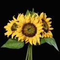 bouquet TOURNESOL artificiel 25 cm