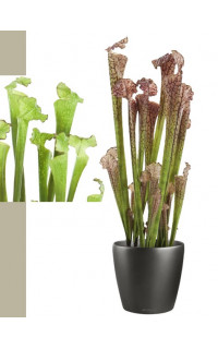 SARRACENIA artificiel ( plante carnivore) 60 cm