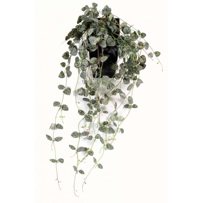 CEROPEGIA (chaine des coeurs) 60 cm