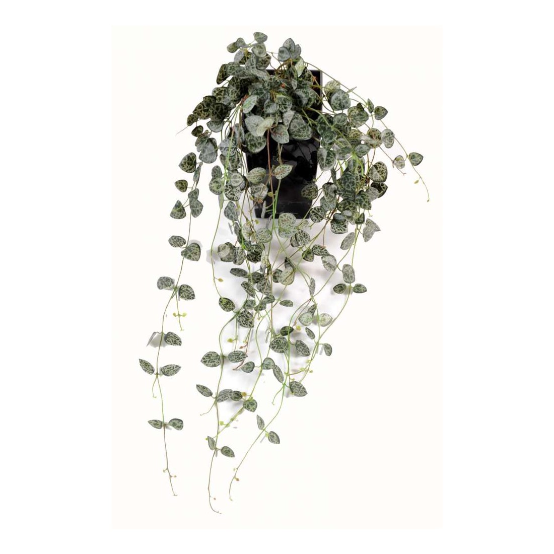 Ceropegia chaine des coeurs 60 cm bonsa s mini for Plante d interieur retombante