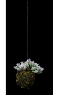 suspension succulente 10 cm