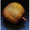 fruit DURIAN artificiel 23 cm