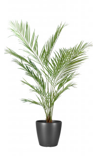 KENTIA artificiel NEW PALM 150 cm
