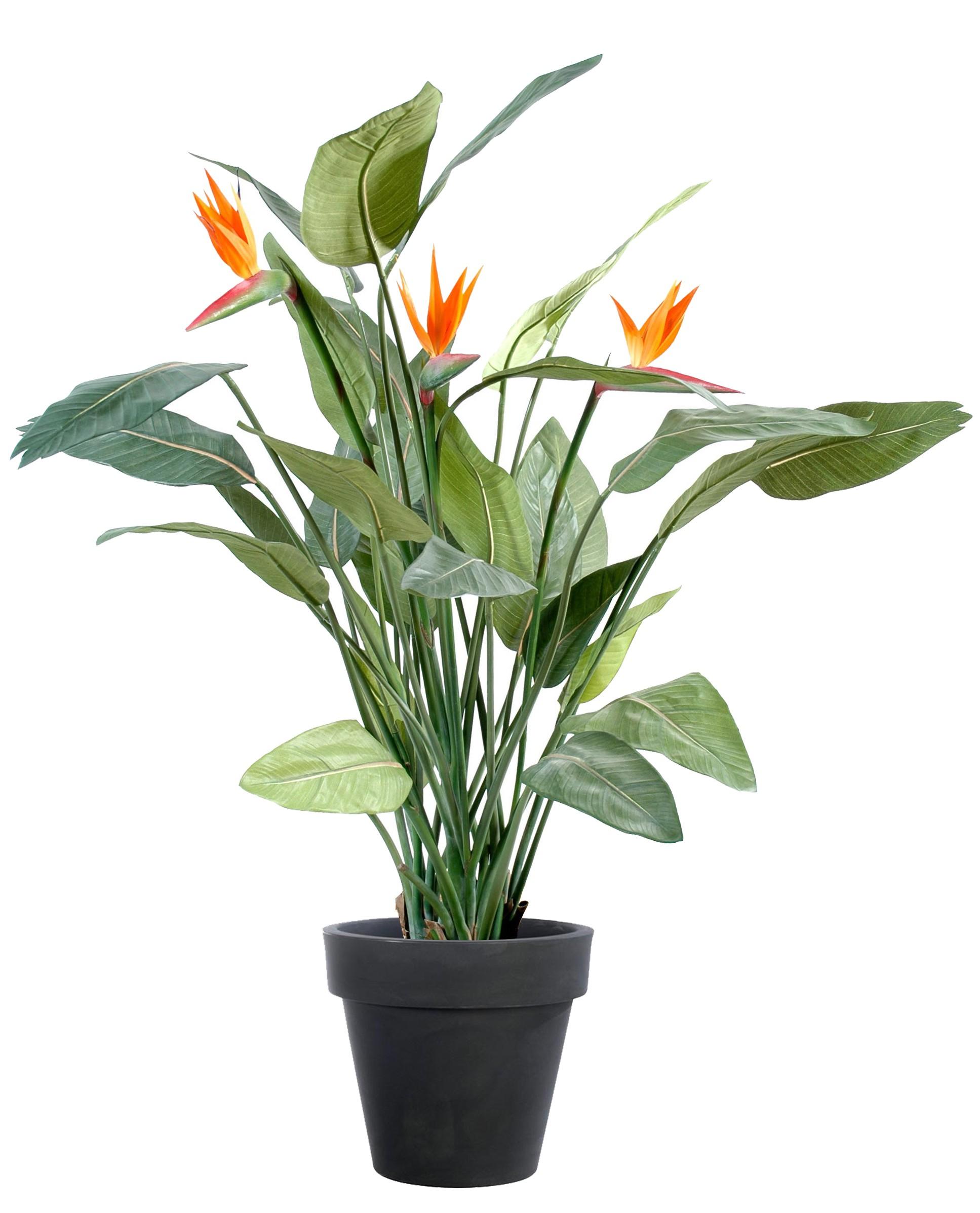 plante exotique strelitzia