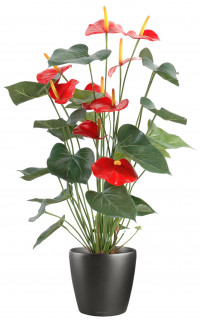 ANTHURIUM en pot 75 cm