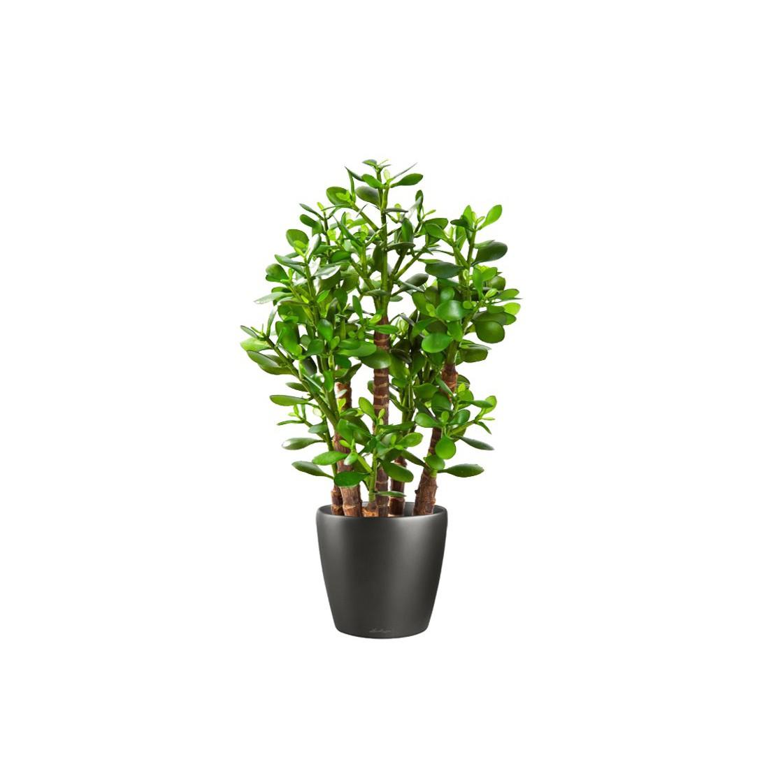 crassula artificiel ovata 60 cm cactus plantes grasses cactus et plantes grasses artificiels. Black Bedroom Furniture Sets. Home Design Ideas