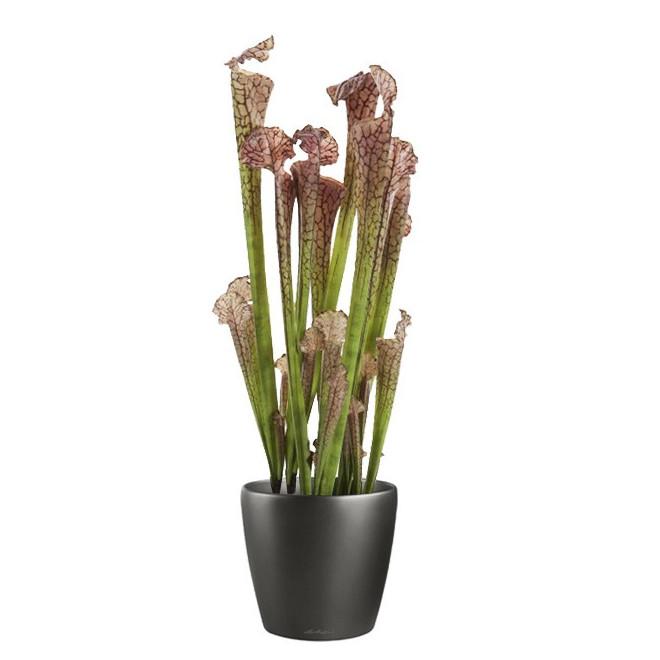 SARRACENIA artificielle ( plante carnivore) 67 cm