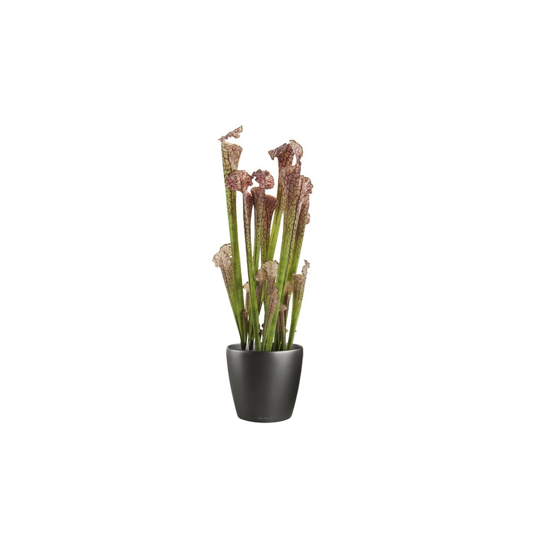 cheap plante carnivore entretien intrieur sarracenia plante carnivore cm plantes with plantes. Black Bedroom Furniture Sets. Home Design Ideas