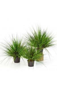 onion grass  50 à 70 cm