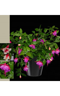 Fuchsia chute 40 cm