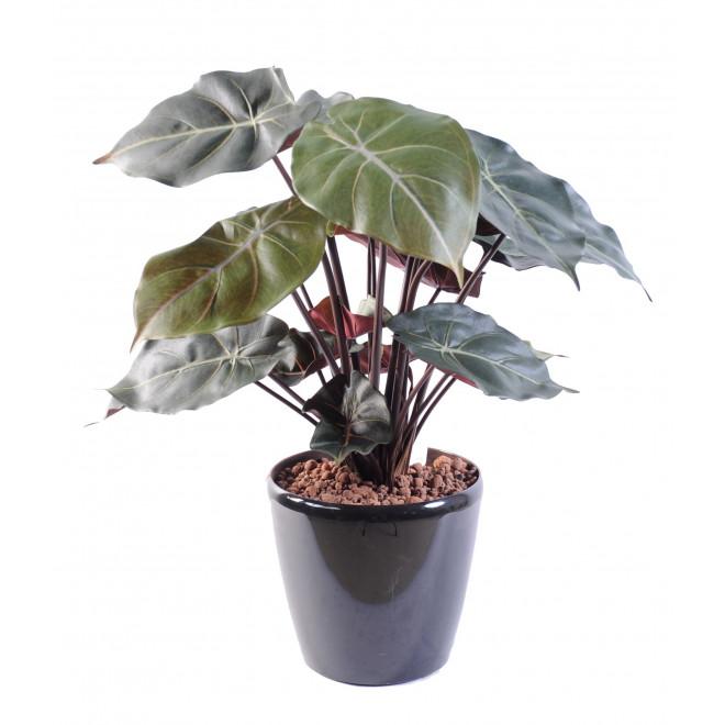 syngonium podophyllum 55 cm