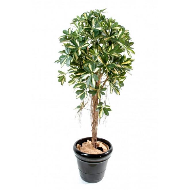 SCHEFFLERA artificiel BABY tree 110 à 170 cm